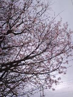 ♪帯広もさくらが開花♪