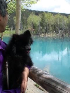 美瑛町にある青い池に行ってきました〜♪ホントに青かった